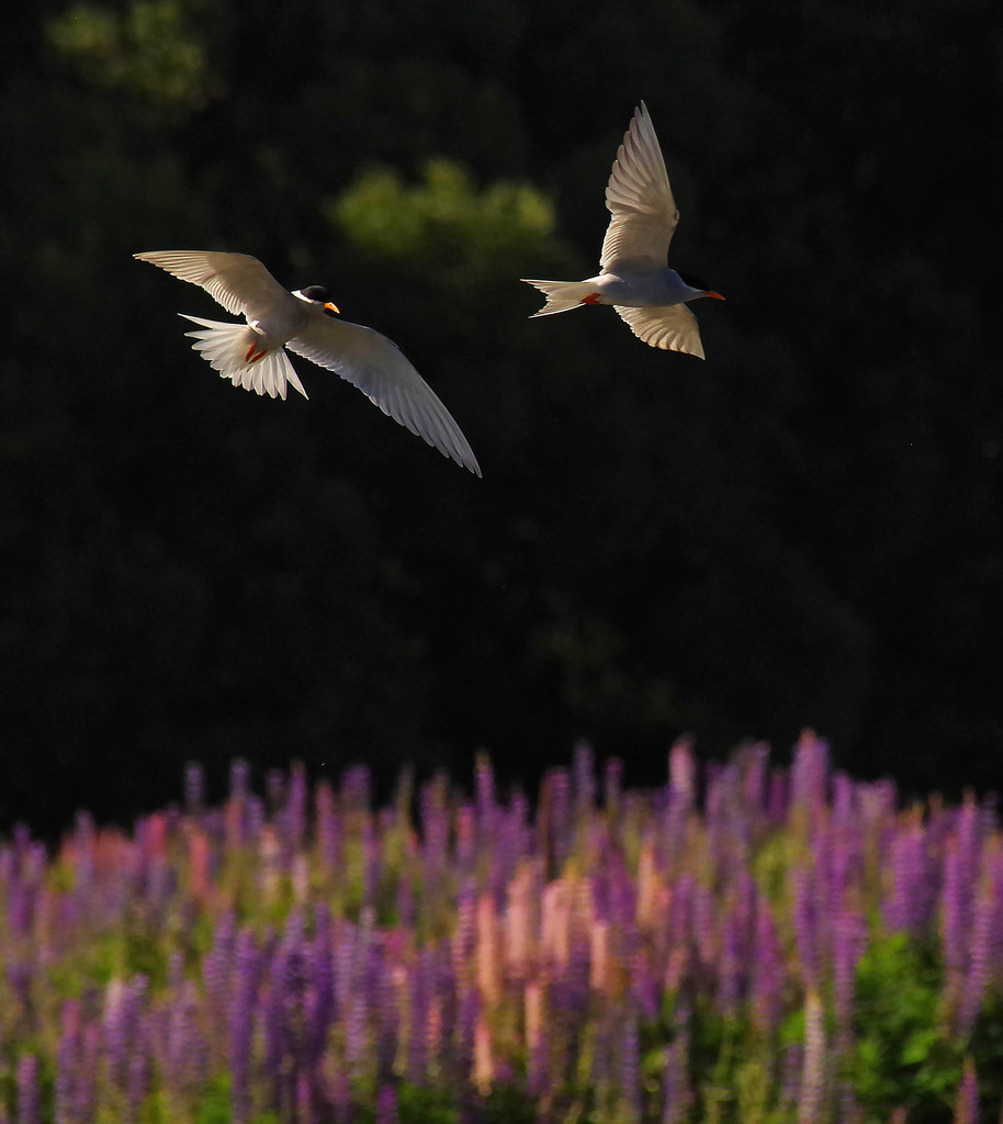 Black fronted terns over lupins by maureenpp