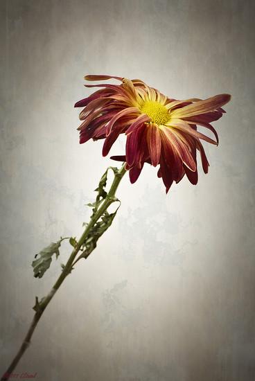 Last Daisy by lstasel