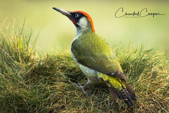 Green Woodpecker by shepherdmanswife