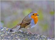 4th Dec 2017 - Friendly Little Robin