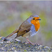 Friendly Little Robin by carolmw