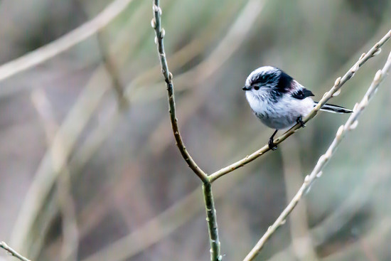 Long Tailed Tit. by padlock