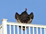 4th Dec 2017 - Turkey vulture waiting for Santa........
