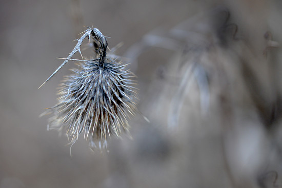 Prickly Thistle! by fayefaye