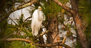 4th Dec 2017 - Just Another Egret in the Pines!