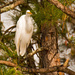 Just Another Egret in the Pines!