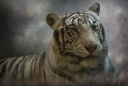 3rd Dec 2017 - Bengal Tiger at Big-Cat-Habitat