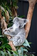 5th Dec 2017 - Koala