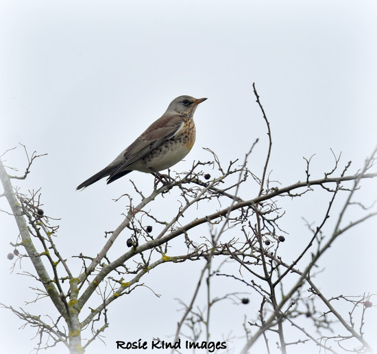 Fieldfare by rosiekind