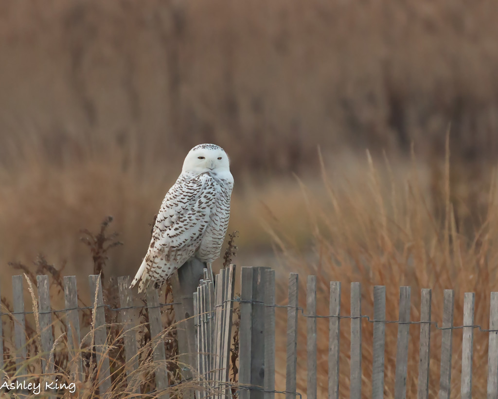 Snowy Owl!!! by shesnapped