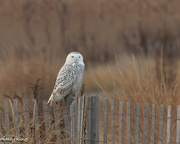 4th Dec 2017 - Snowy Owl!!!