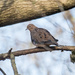 Mourning Dove Wide