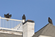5th Dec 2017 - Up on the housetop vultures pause......