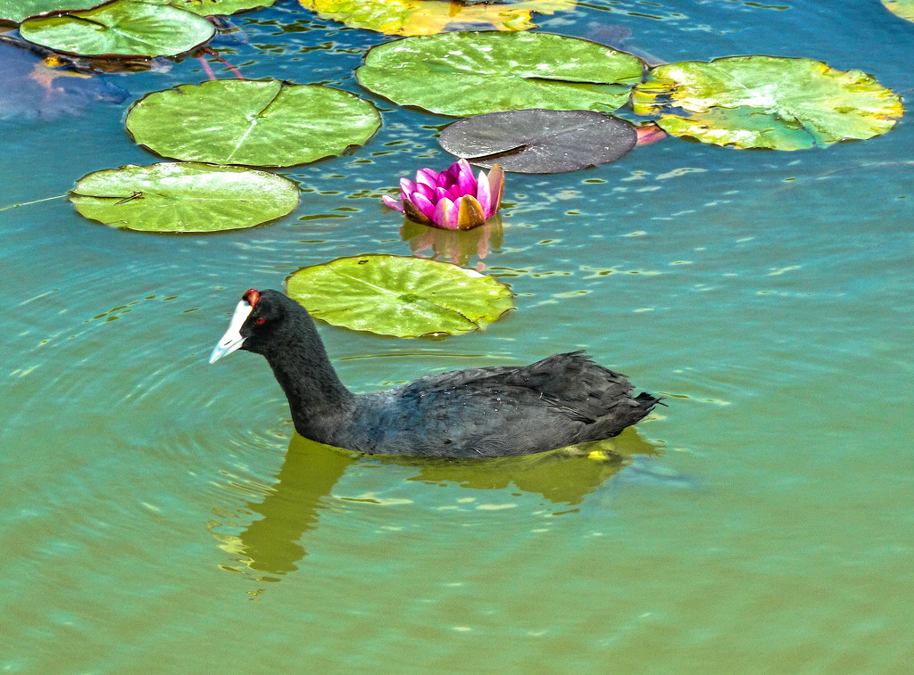 A Red Knobbed Coot..... by ludwigsdiana