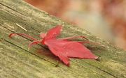 3rd Dec 2017 - Red Leaf