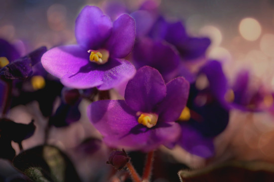 African Violet by gq