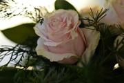 6th Dec 2017 - Oldish rose
