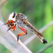Robber Fly by koalagardens