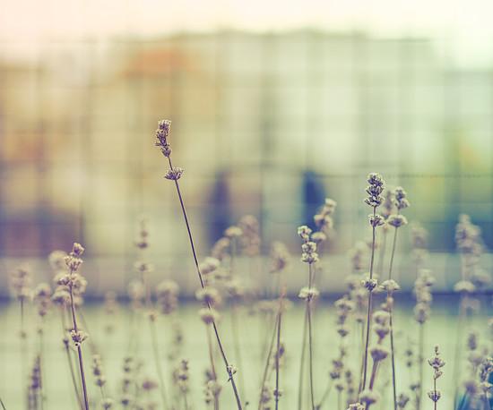 happy lavender by pistache