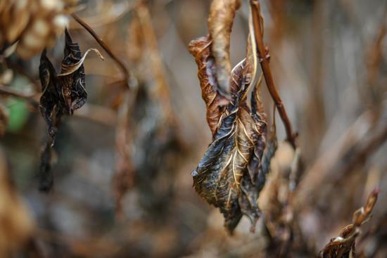 Dried Hydrangea  by loweygrace