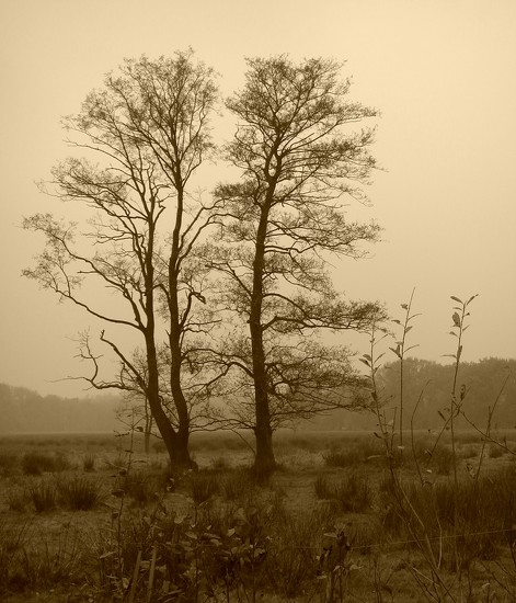 trees in sepia by gijsje