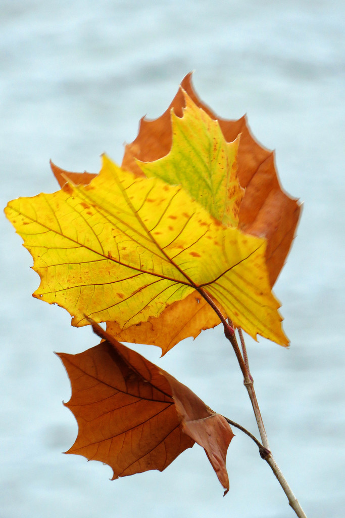 Leaves Flying Like Flags by milaniet