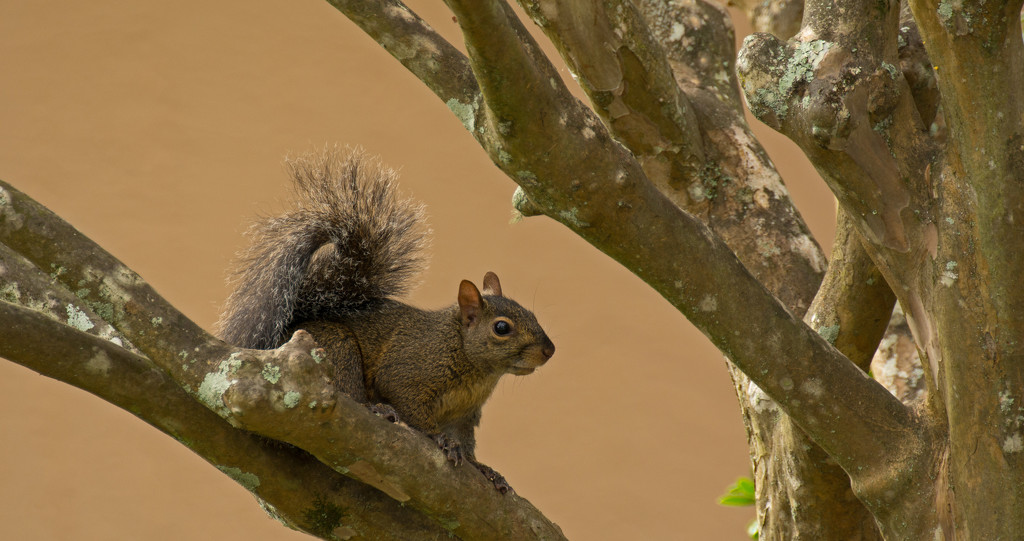 Squirrel in the Crepe Myrtle! by rickster549