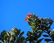 6th Dec 2017 - Kiwi Xmas tree is blooming already