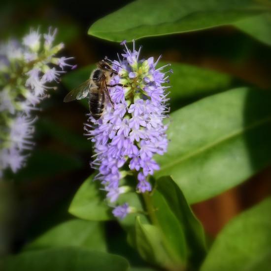 Black Bee by nickspicsnz