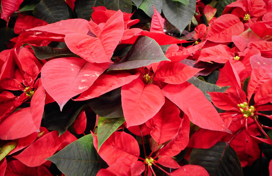 Poinsettias by mittens