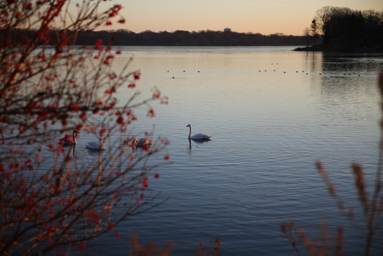 swans... by earthbeone