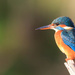 Female Kingfisher in the late sun by padlock