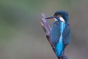 7th Dec 2017 - Female Kingfisher in the pooring rain