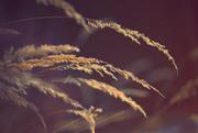 7th Dec 2017 - nodding grasses