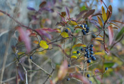 7th Dec 2017 - Wild Privet Berries