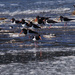 Oystercatchers at high tide by maureenpp