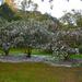 Sasanqua camellias in peak bloom, Charleston, SC