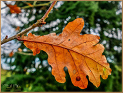 8th Dec 2017 - Oak Leaf And Bokeh