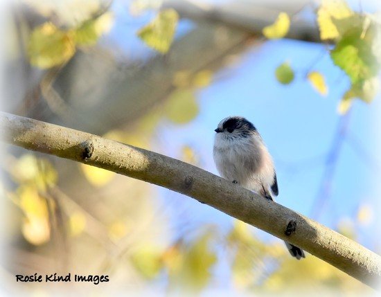 Little long tailed tit by rosiekind