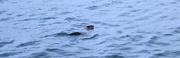 8th Dec 2017 - Otter