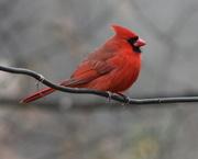 8th Dec 2017 - Mr. Cardinal