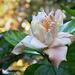 Hibiscus...Palermo Botanical Garden