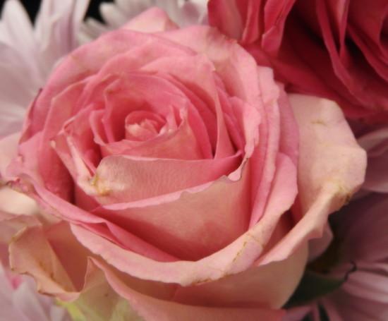 Soft as a Rose by homeschoolmom