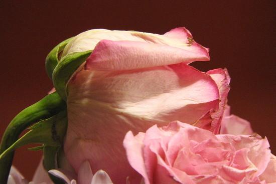 SOOC Rose on Red by homeschoolmom