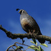 California quail at the top of the tree by maureenpp