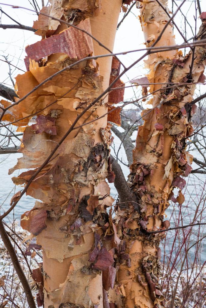 Birch Bark by rminer
