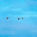 Three geese in the sky