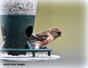 9th Dec 2017 - Redpoll