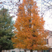 """Our """"Cleveland Select"""" Pear (Callery pear)"""
