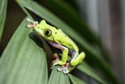 9th Dec 2017 - Flying Leaf Frog